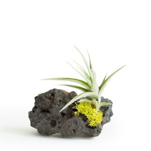 Lava Rock With Aeranthos