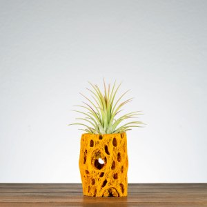 Orange Cholla Air Plant Holder