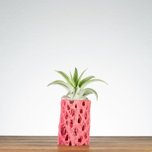 Pink Cholla Air Plant Holder