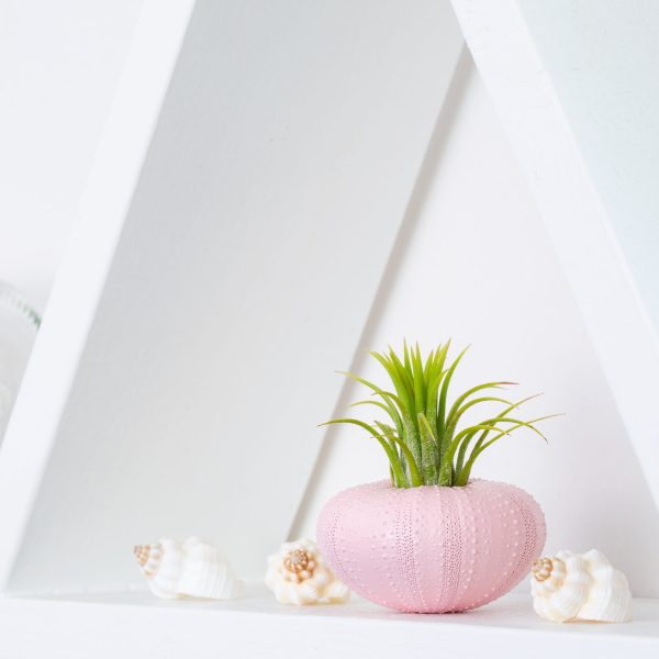 Pink Urchin Air Plant Display