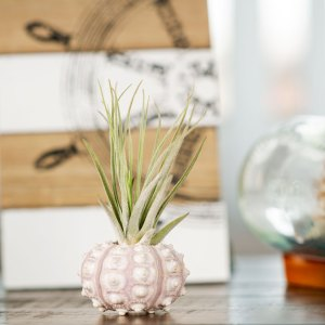 Sputnik Urchin Air Plant Display