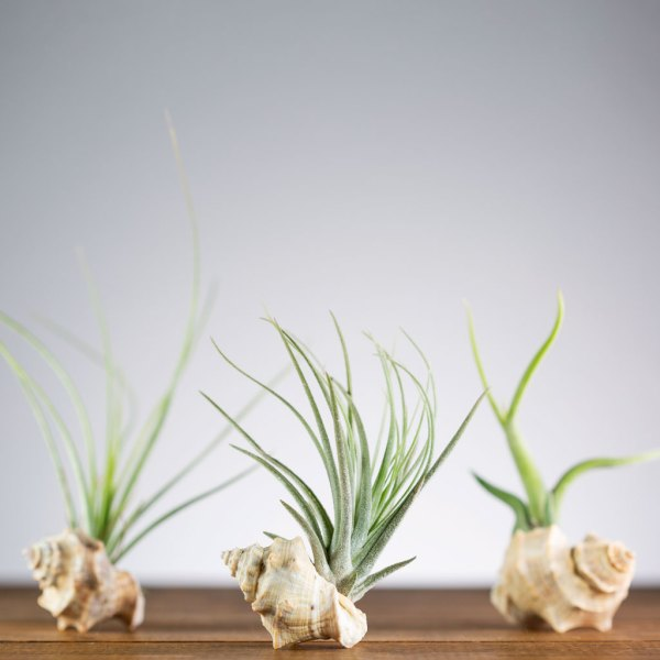 Set of 3 Sea Shell Air Plant Holders