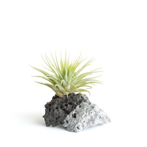 Silver Dipped With Ionantha