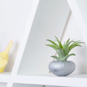 Silver Urchin Air Plant Display