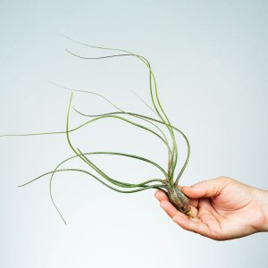 Common Air Plants
