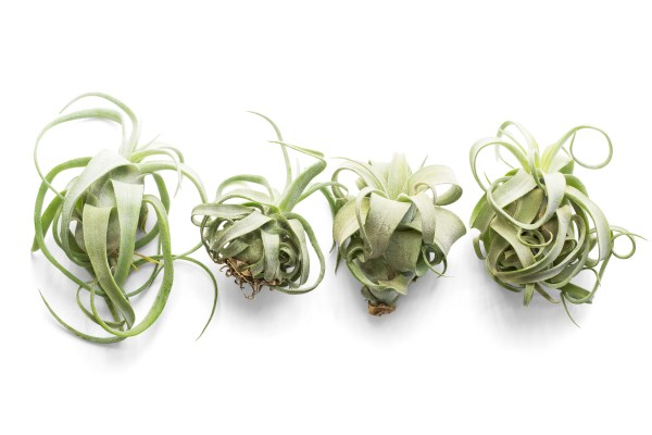Shirley Temple Air Plant