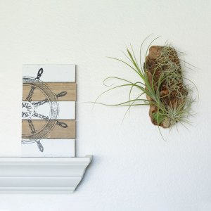 Tillandsia Driftwood Wall Display