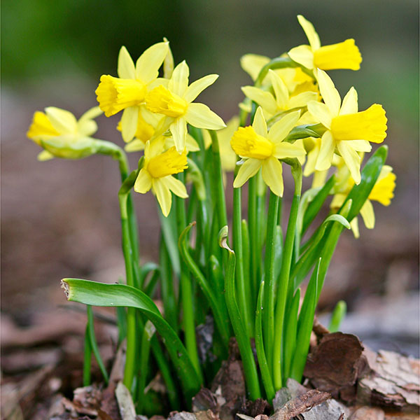 Tete a Tete Miniature Daffodil Narcissus Plants