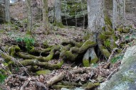 42gnarled_roots