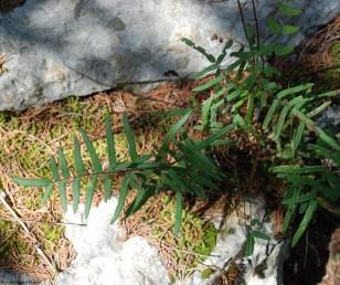 Purple cliff-brake fern