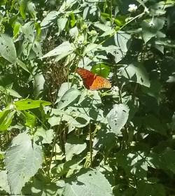 16butterfly
