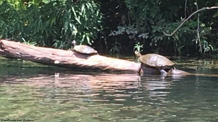 Turtles in Terrapin Creek