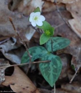 Sharp lobed hepatica