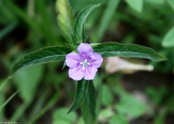 Hairy ruellia