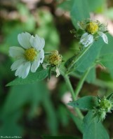 White-flowered leafcup