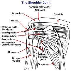 Clavicle And Scapula Diagram Miller Welder 220v Plug Wiring What You Should Know If Have Been Involved In An Auto