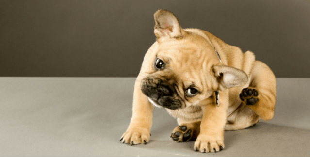 flea control for dogs