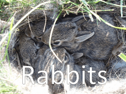 An image of several baby rabbits in a nest