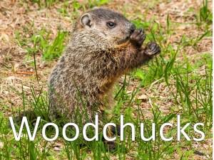 An image of a woodchuck