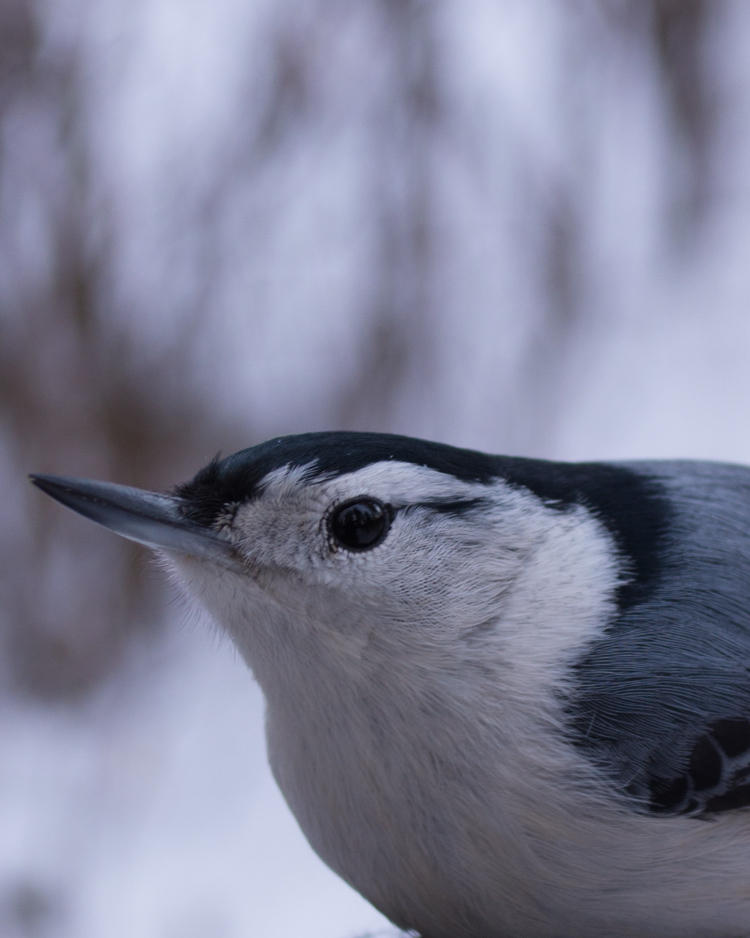 White-breasted nuthatch resting on a woman's gloved hand. She is holding bird seed.