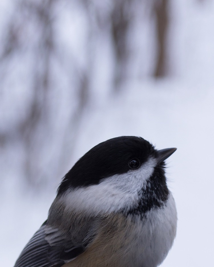 A close-up photo of a black-capped chickadee's head