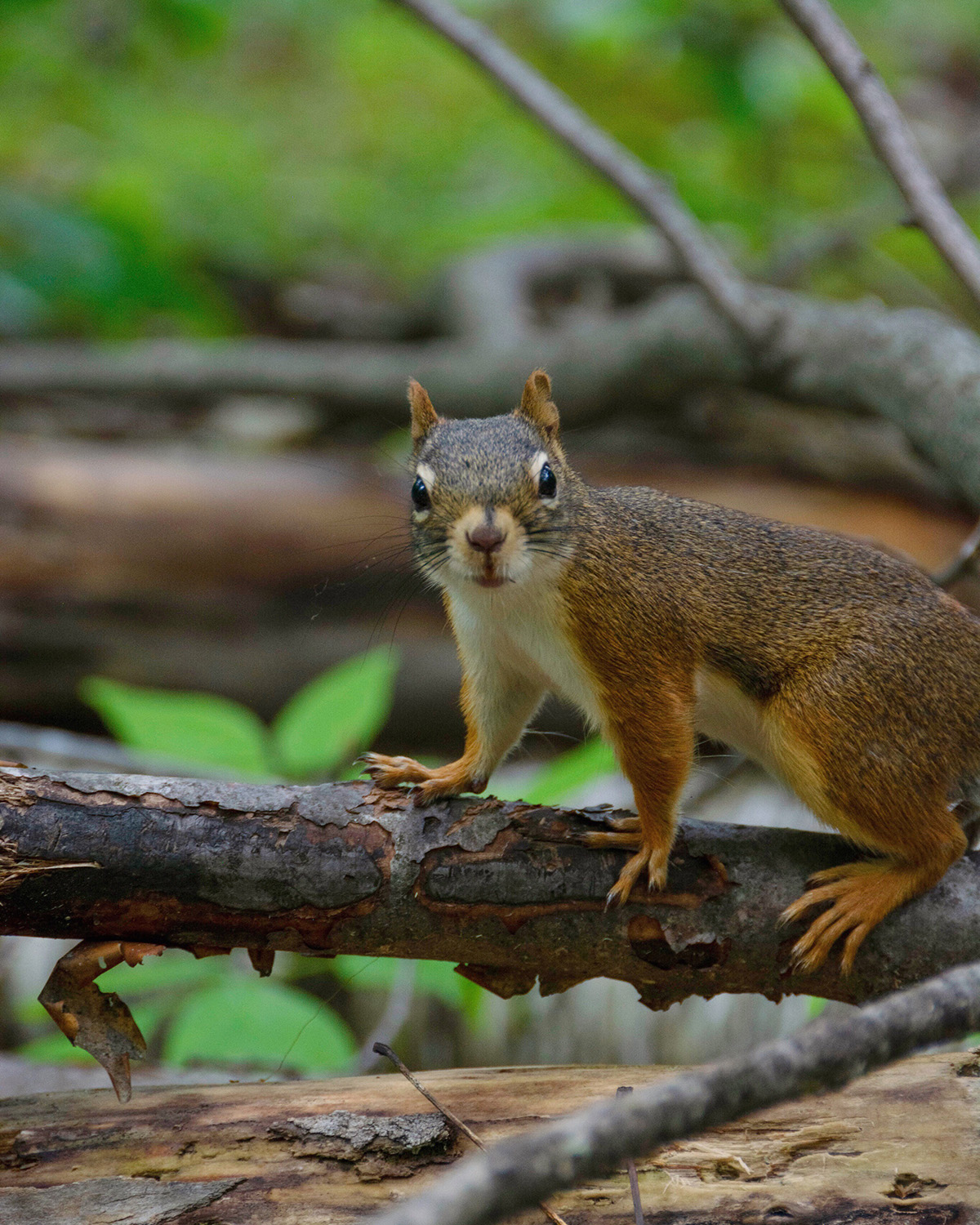 An American red squirrel stands on a branch