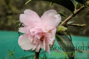Camellia Itty Bit