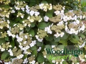 Hydrangea macrophylla opuloides