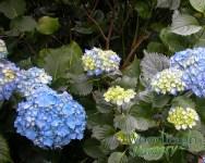 Hydrangea macrophylla Altona