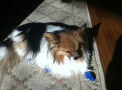 Daisy the Papillon in Dog Socks