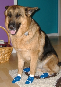 German Shepherd, Raven, Wearing NonSkid Socks for Dogs