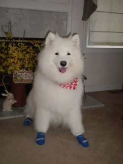 Non Slip Dog Socks for Samoyad with Arthritis
