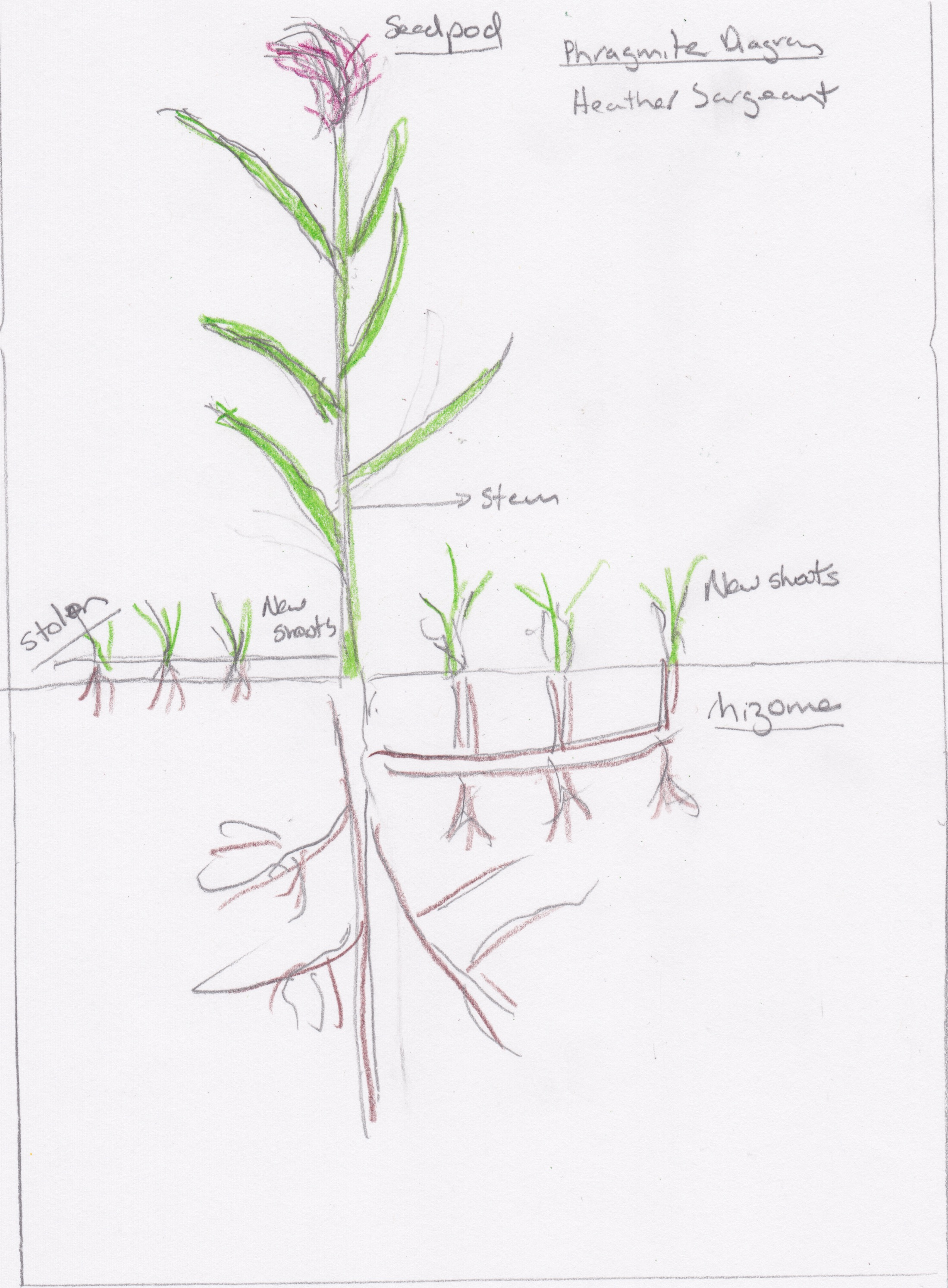 horsetail plant diagram software architecture visio 5 ways the invasion of non native phragmites plants will cost you