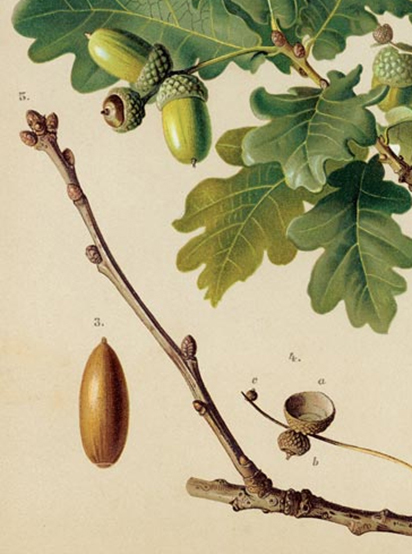 Oak twigs and leaves with ripening acorns