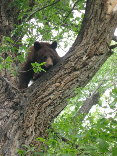 A brown bear in the tree overlooking the patio