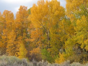 Cottonwoods south of cabins