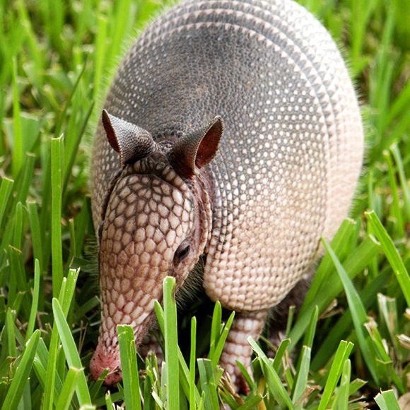 armadillo facts learn about