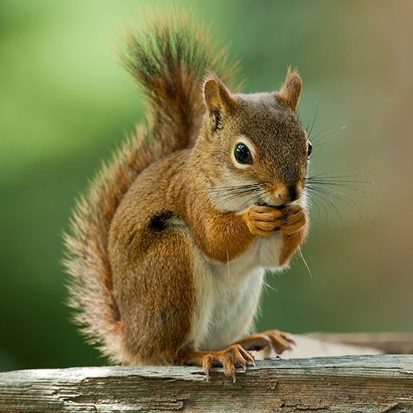 facts about squirrels squirrel