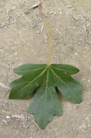 Field-maple