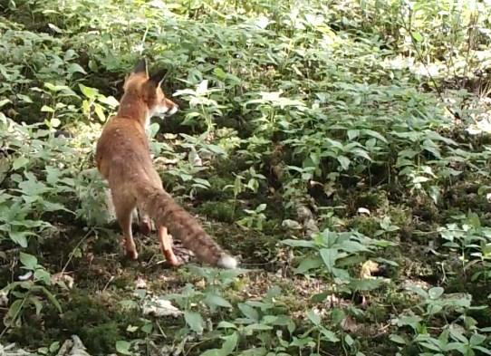 Fox listening 1