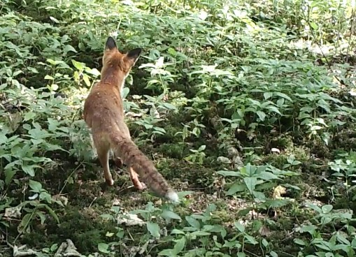 Fox listening