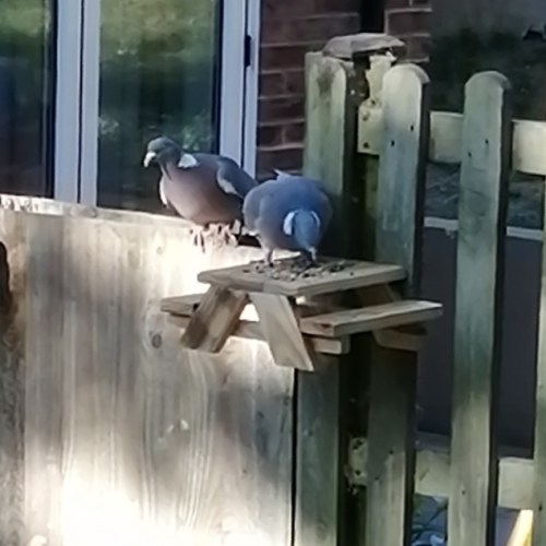 Pigeons on a garden animal feeder