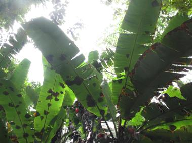 "I call this ""Banana Leaf Silhouette""."