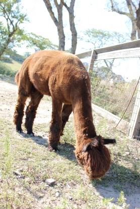 Another alpaca!