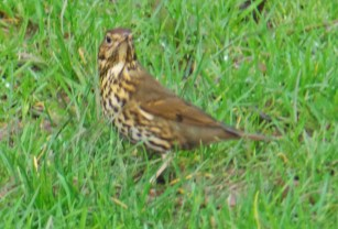 Thrush on grass january 2016 1