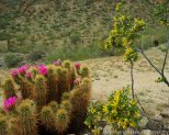 Creosote and Cactus