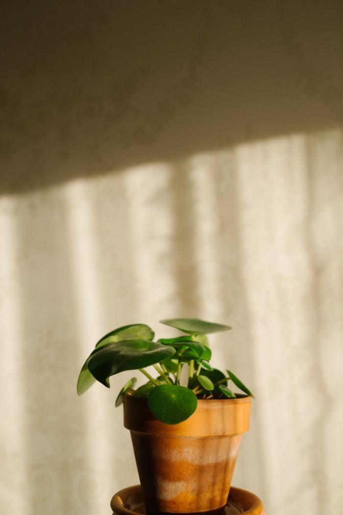 pannekoekenplant
