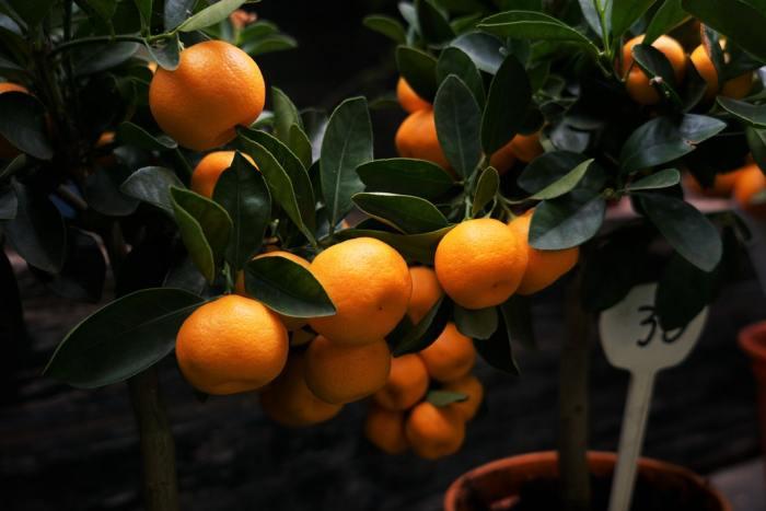 sinaasappelen aan een boompje