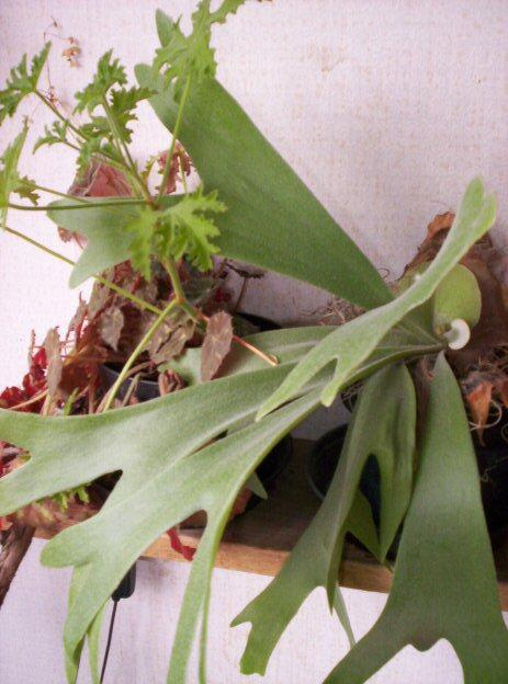 Hertshoorn plant