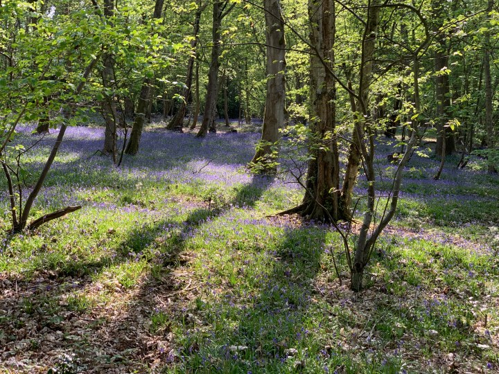 wootton parish youlbury bluebells w